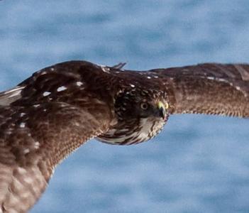 Cooper's Hawk in flight, close up, Phippsburg, Maine