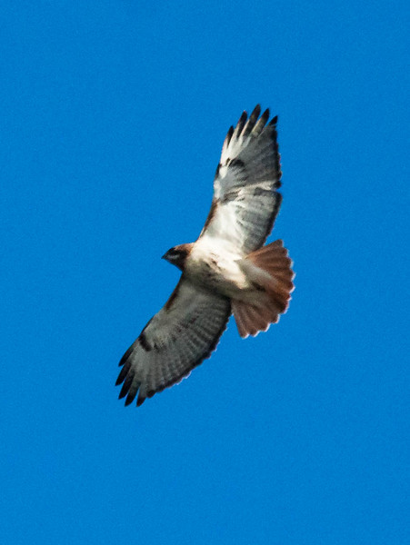 Red Tailed hawk in flight, a winter raptor in Maine