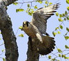 Peregrine Falcon With Prey Catch