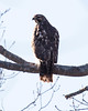 Red Shouldered Hawk, Phippsburg, Maine, December 30, 2009, an odd raptor to see here at this time of year.