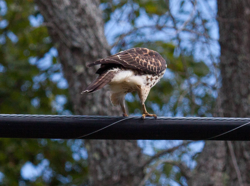 """""""Hey! Where did it go?!"""" Broad Winged hawk right after defecating seems to wonder where his product went! I seem to have the most amazing luck photographing birds pooping. I call it my Feces Species series. Phippsburg Maine"""