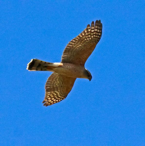 Borad-winged hawk in flight