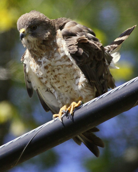 Broad-winged Hawk On Wire
