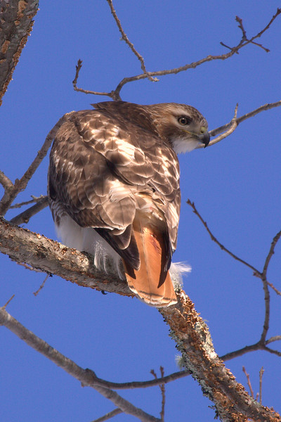 Red-tailed Hawk Eyeing Prey