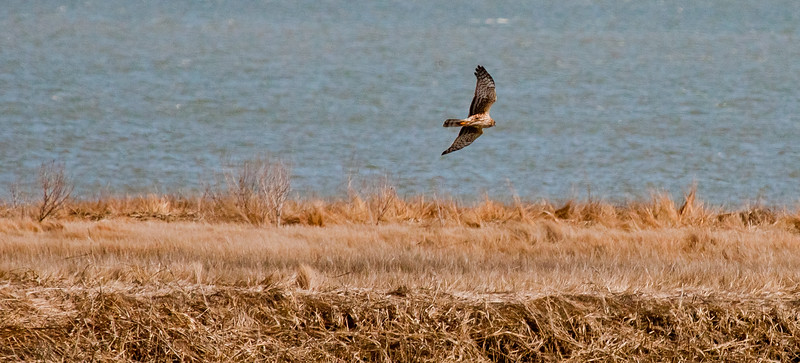 Northern Harrier On Marsh