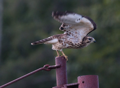Broad Winged Hawk, Maine