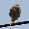 Broad-winged Hawk Perched On Wire, frontal view, clearly looking at prey below it