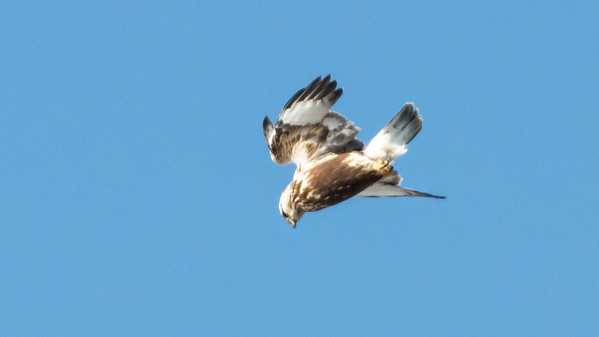 Rough-Legged hawk in flight, Thomaston, Maine, January 8, 2014