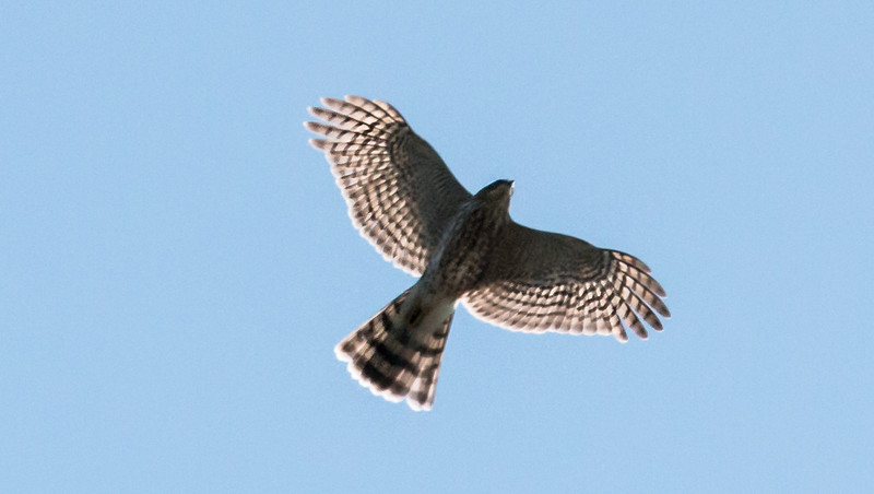 A Sharp-shinned hawk, nicknamed Sharpie in flight. Note the wings slightly pushed forward, straight tale and course streaking and barring on the chest and belly.