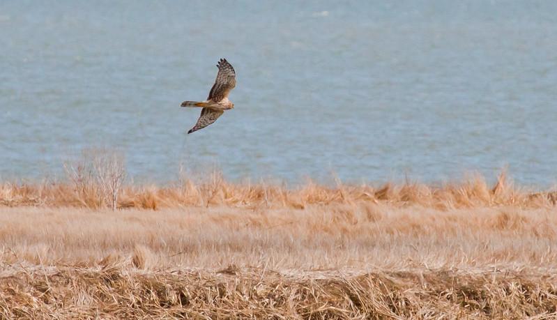 Northern Harrier On Marsh
