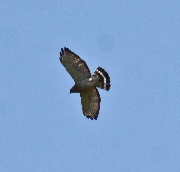 Broad-winged hawk, flight, left facing, Maine