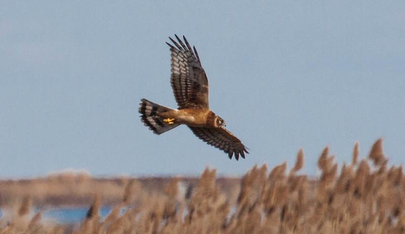 Northern Harrier, also called a Marsh Hawk, in flight