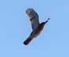 Sharp-shinned hawk in flight. This raptor has been hunting around my bird feeders for a couple of weeks. It is especially fond of the Mourning Doves. Phippsburg Maine November