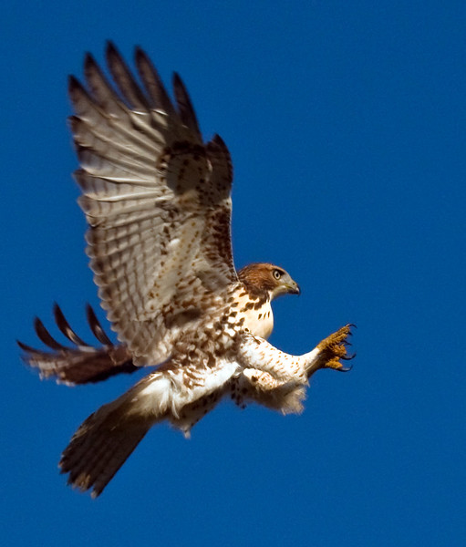 Red-tailed Hawk, Juvenlie Landing