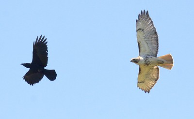 Red-tailed Hawk Persues Raven In Flight