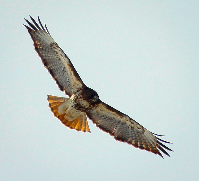 Red-tailed Hawk Soaring