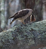 Broad-winged Hawk, Buteo platypterus , May 2013, Phippsburg, Maine