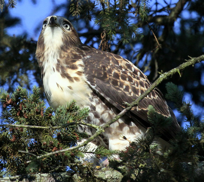 Red-tailed Hawk, perched close up. Great eye detail in this image.