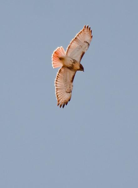 Red-tailed Hawk, Flight