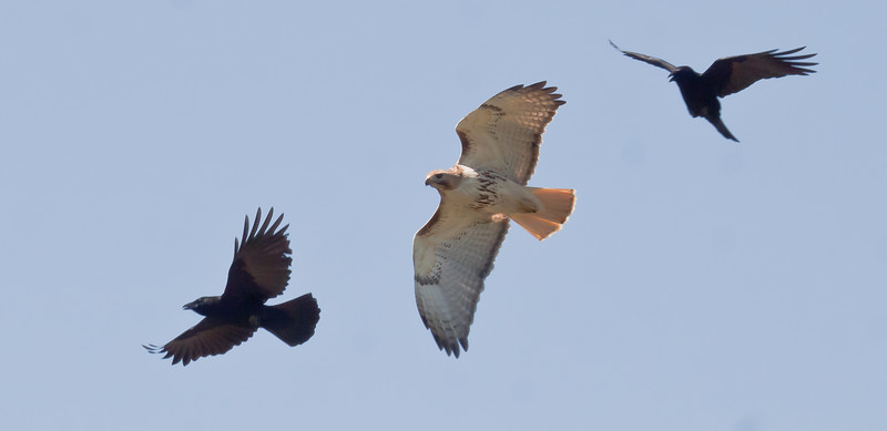 Red-tailed Hawk in flight with American Crows
