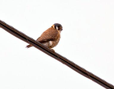 American Kestrel On Wire