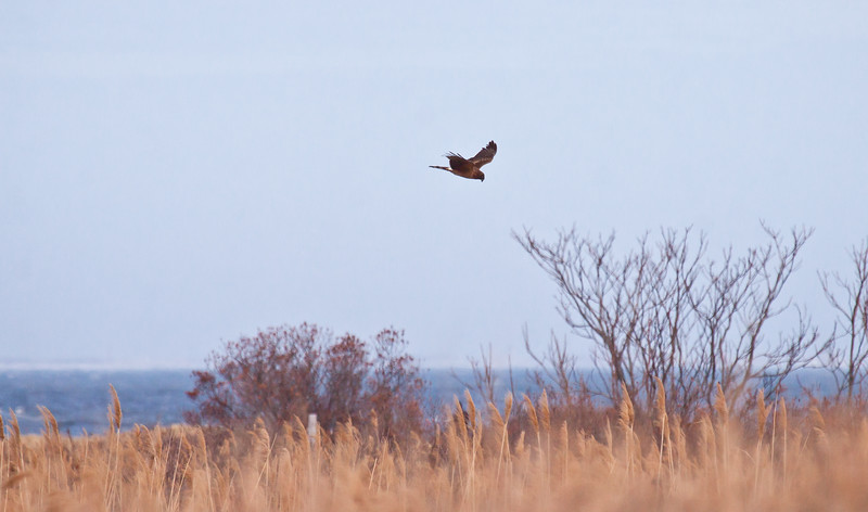 Northern Harrier Hunting In Brigantine