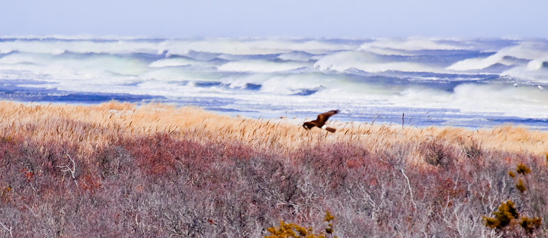 Northern Harrier, Salt Marsh And Surf
