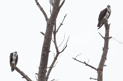 This is a mated Osprey pair. The male is on the lower left branch, the female on the upper right. This illustrates (hopefully) that the female is slightly larger than the male and also the difference in plumage. The female has a marked breast, where the male has a plain white breast. The  female looks as if she is wearing a dirty apron. That is how I remember which is which..   Pandion haliaetus, Osprey, also called a Fish Hawk, is a migratory raptor in Maine