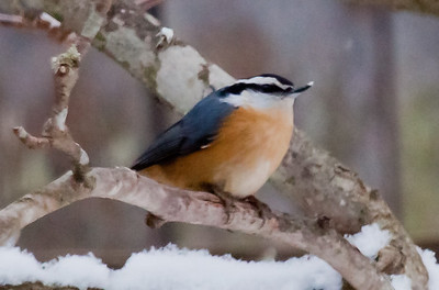 MAINE NUTHATCHES
