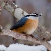 Red-Breasted nuthatch perched in snow, Phippsburg, Maine winter bird