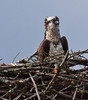 female Osprey on the nest - Osprey, also called Fish Hawks, Pandion haliaethus is a migratory bird of prey in Maine. This large raptor hunts only live fish. It hovers in the air over water to see fish then plunges feet first to capture fish. Pandion haliaetus, Osprey, Fish Hawk
