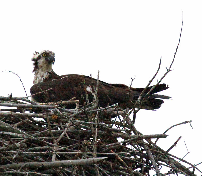 Osprey, female on the nest Pandion haliaetus, Osprey, Fish Hawk