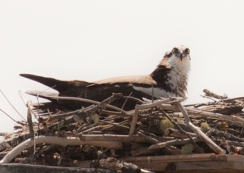 Osprey, female on nest, Maine Pandion haliaetus, Osprey, Fish Hawk
