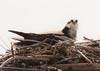 Osprey, female on nest, Maine Pandion haliaetus, Osprey, Fish Hawk