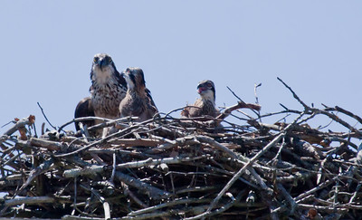 mother Osprey with pair of chicks, the one on the right is vocalizing to her - Osprey, also called Fish Hawks, Pandion haliaethus is a migratory bird of prey in Maine. This large raptor hunts only live fish. It hovers in the air over water to see fish then plunges feet first to capture fish. Pandion haliaetus, Osprey, Fish Hawk