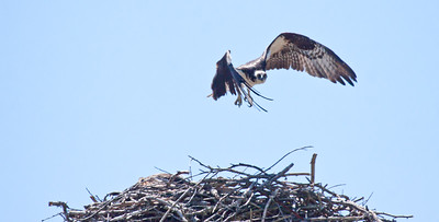 Osprey male flying into nest - Phippsburg, Maine. Osprey, also called Fish Hawk, Pandion haliaethus is a migratory bird of prey in Maine. This large raptor hunts only live fish. It hovers in the air over water to see fish then plunges feet first to capture fish. Pandion haliaetus, Osprey, Fish Hawk