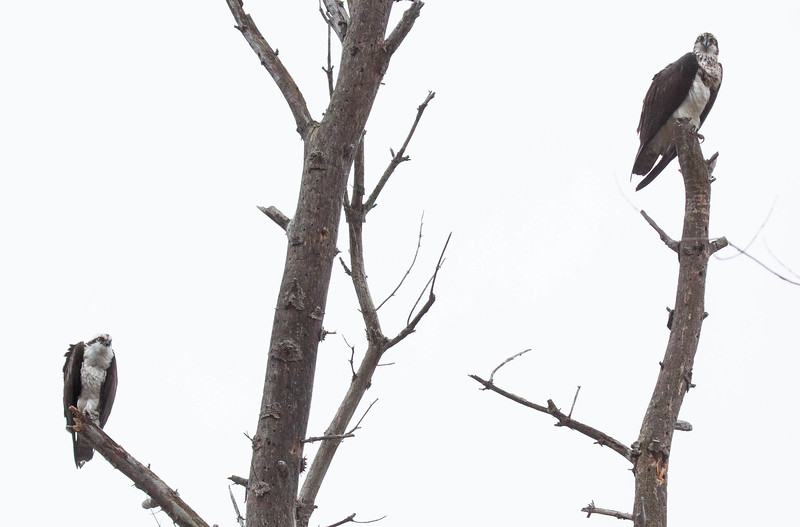 """This is a mated Osprey pair. The male is on the lower left branch, the female on the upper right. This illustrates (hopefully) that the female is slightly larger than the male and also the difference in plumage. The female has a marked breast, where the male has a plain white breast. The  female looks as if she is wearing a dirty apron. That is how I remember which is which..   Pandion haliaetus, Osprey, also called a Fish Hawk, is a migratory raptor in Maine. For more on Cecropia moths' development and life cycle visit <a href=""""http://www.wormspit.com/cecropia.htm"""">http://www.wormspit.com/cecropia.htm</a>. Pandion haliaetus, Osprey are migratory, fish eating raptors in Maine."""