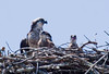 female Osprey with chicks, the one on the right is calling to her. Female osprey have streaked breasts. The males have a clean, white breast. Osprey, also called Fish Hawks, Pandion haliaethus is a migratory bird of prey in Maine. This large raptor hunts only live fish. It hovers in the air over water to see fish then plunges feet first to capture fish. Pandion haliaetus, Osprey, Fish Hawk