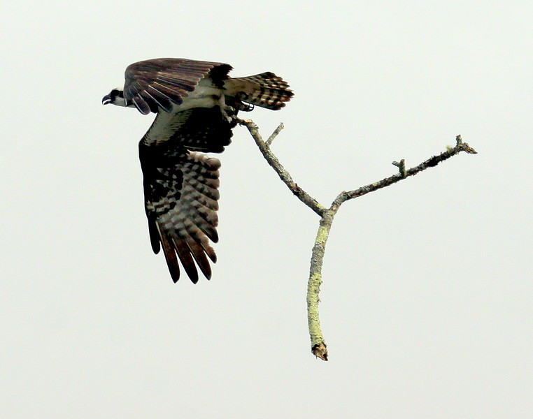 Osprey Flying With Branch Pandion haliaetus, Osprey, Fish Hawk