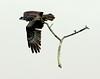 Osprey Flying With Branch Pandion haliaetus, Osprey, Fish Hawk
