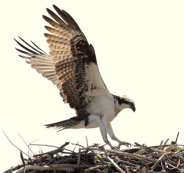 Osprey, male landing in nest,  Maine Pandion haliaetus, Osprey, Fish Hawk