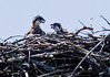These are Osprey chicks panting from heat. There is no shade in these exposed nests. Parents shade young with open wings when they are not away fishing. Osprey, also called Fish Hawks, Pandion haliaethus is a migratory bird of prey in Maine. This large raptor hunts only live fish. It hovers in the air over water to see fish then plunges feet first to capture fish. Pandion haliaetus, Osprey, Fish Hawk