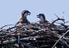 pair of Osprey chicks in the nest, panting from heat - Osprey, also called Fish Hawks, Pandion haliaethus is a migratory bird of prey in Maine. This large raptor hunts only live fish. It hovers in the air over water to see fish then plunges feet first to capture fish. Pandion haliaetus, Osprey, Fish Hawk
