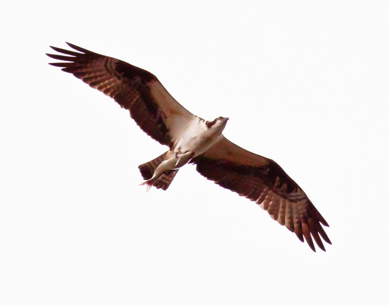 Osprey in flight carrying fresh fish, right facing from underneath, Phippsburg, Maine bird of prey with food