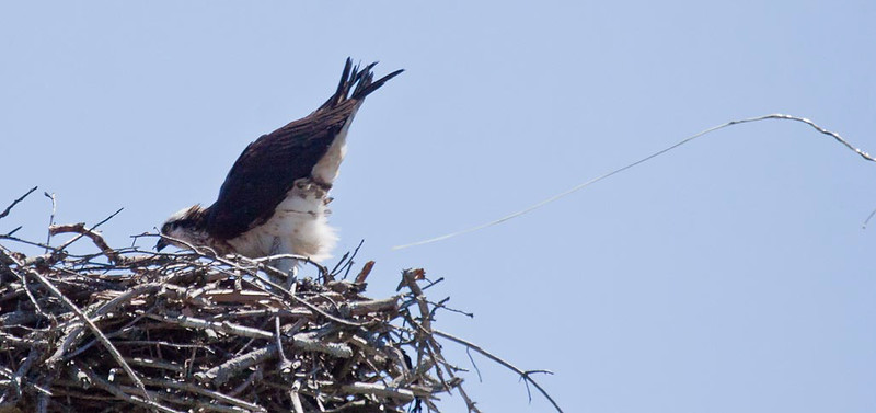 female Osprey defacating over the side of the nest Pandion haliaetus, Osprey, Fish Hawk