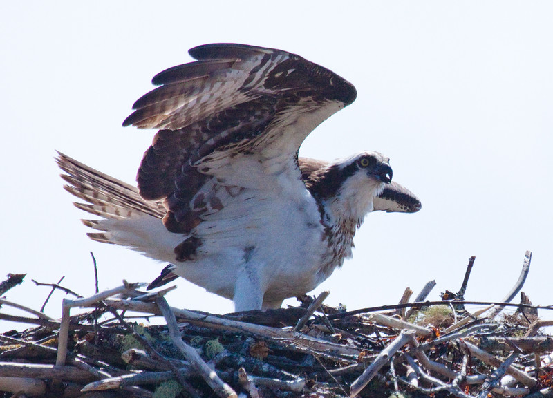 Osprey Pandion haliaetus, Osprey, Fish Hawk female on nest vocalizing and wing stretching, PHippsburg, Maine