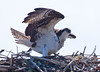 Osprey Pandion haliaetus, Osprey, Fish Hawk female on nest vocalizing and wing stretching, PHippsburg, Maine