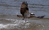 Osprey that has just snatched an Alewife (river herring) from the waters of the Atlantic Ocean, mouth of the Kennebec River, PHippsburg Maine at Popham Pandion haliaetus, Osprey, Fish Hawk