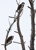 "This is a mated Osprey pair. The male is on the lower left branch, the female on the upper right. This illustrates (hopefully) that the female is slightly larger than the male and also the difference in plumage. The female has a marked breast, where the male has a plain white breast. The  female looks as if she is wearing a dirty apron. That is how I remember which is which..   Pandion haliaetus, Osprey, also called a Fish Hawk, is a migratory raptor in Maine. For more on Cecropia moths' development and life cycle visit <a href=""http://www.wormspit.com/cecropia.htm"">http://www.wormspit.com/cecropia.htm</a>. Pandion haliaetus, Osprey are migratory, fish eating raptors in Maine."