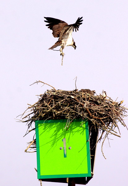 Osprey male flying into nest with stick to rebuuild, female and chick in the nest on a navigational tower, Robinhood Maine Pandion haliaetus, Osprey, Fish Hawk